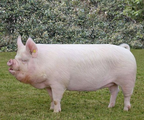 Middle Large White Yorkshire Pig