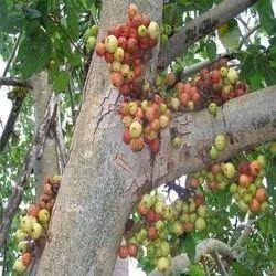 Ficus Glomerata Bark Extract