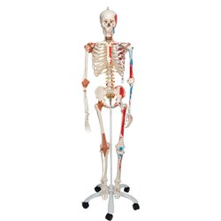 Human Skeleton With Ligaments & Painted Muscles