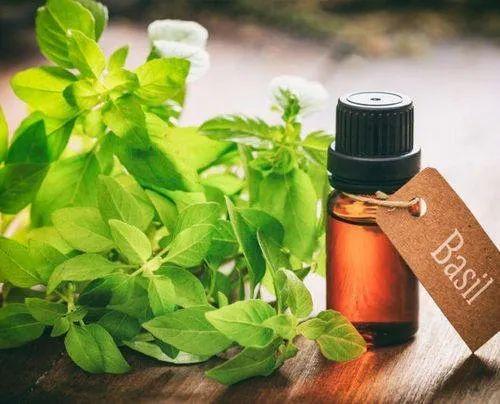 Ocimum Basilicum Leaves 1 Litre Basil Oil, Rs 900 /kg Base Aromatics LLP | ID: 21581927833