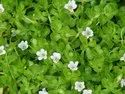 Green Bacopa Monnieri, Packaging Type: Pp, Packaging Size: 25