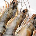 Tiger Shrimp Probiotics to Reduce Ammonia Load in Ponds