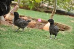 Kadaknath Day Old Chicks