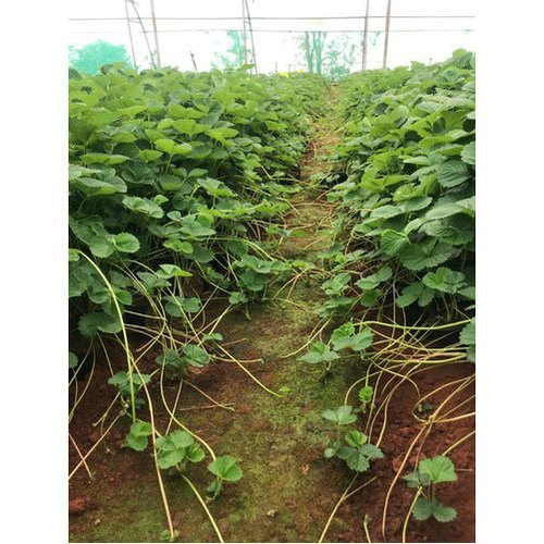 Strawberry Tissue Culture Plant
