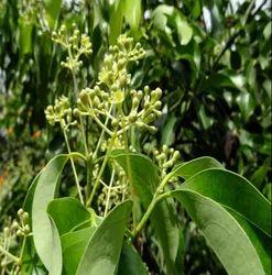 Tejpat Plant