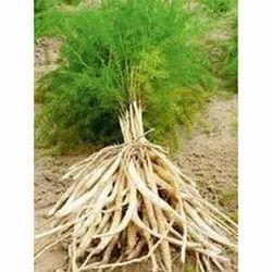 Shatavari Root in Bareilly, शतावरी की जड़