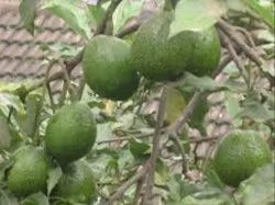 Avacado Fruits Plants