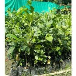 Thai Pati Lemon Plant