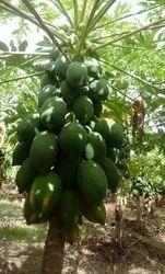 A Grade Papaya, Packaging Type: Carton, Packaging Size: 10 Kg