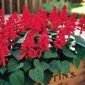 Red Salvia Flower Plant