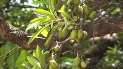 Madhuca Indica Oil