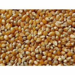 Cool And Dry Place Imported Popcorn Maize, High In Protein