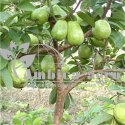 TISSUE CULTURE TAIWAN PINK GUAVA