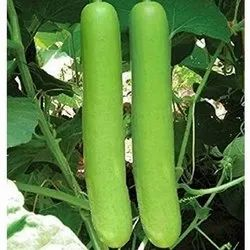 A Grade Organic Bottle Gourd, Available 5,10 Kg, Pesticide Free  (for Raw Products)