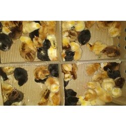 Gramapriya Chicks