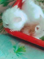 Hamsters - Wholesale Price & Mandi Rate for Hamsters