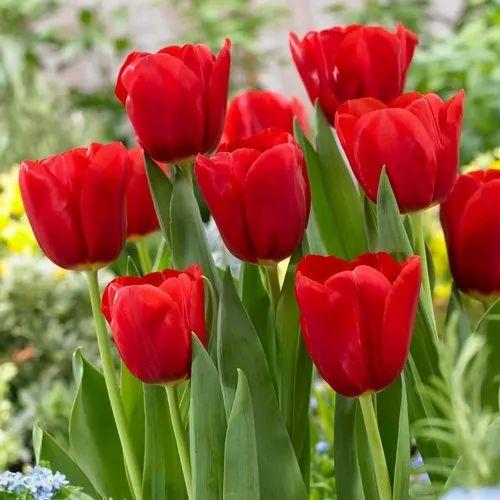 Red Tulip Flower, Rs 850 /bunch Black Tulip Flowers ...