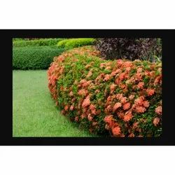 Well Watered Natural Ixora Flower Plant, for Garden, Summer Bloom