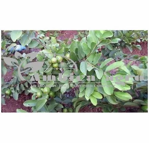 GUAVA PLANTS - Tissue Culture Pink Guava Plants Manufacturer