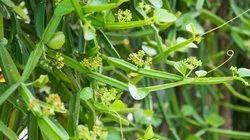 Cissus Quandragularis Extract