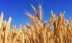 Brown Wheat, Packaging Type: Jute Bag, Packaging Size: 1000 Kg
