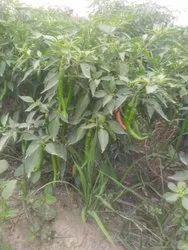 A Grade 6-7mm Fresh Green Mirchi, Haryana, Packaging Size: 20 Kg