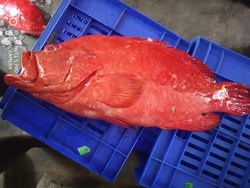 RED /tomotto Grouper, Size: 400 Gm To 4 Kilogram