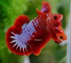 Betta Fish Hellboy Hmpk Breeding Pair