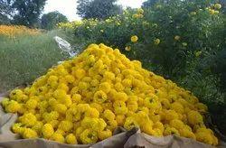 US Agri Marigold(SW 502)