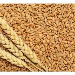 Brown Wheat Grain, Gluten Free