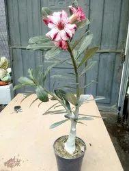 Adenium Indoor Plant