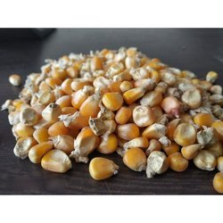 Dried Maize Seeds