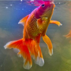 Gold Fishs