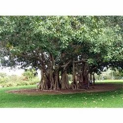 Ficus Benghalensis Tree