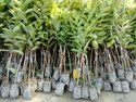 Chiku Plant