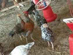 Poultry Farm Chicks in Kolkata - Latest Price & Mandi Rates