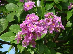 Lagerstroemia Speciosa (Banaba) Extract