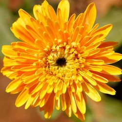 Chrysanthemum Flowers In Bengaluru Latest Price Mandi Rates From Dealers In Bengaluru